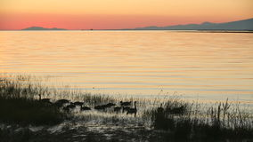 Fraser River Geese Dusk video d archivio
