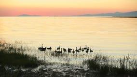 Fraser River Geese Sunset stock video