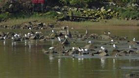 Fraser River, Reiher und Seemöwen stock video footage