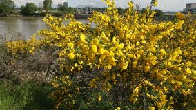 Fraser River Scotch Broom Close Up. A dolly shot of flowering Scotch Broom on the shore the Fraser River. British Columbia, Canada stock video footage