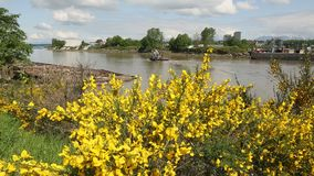 Fraser River Scotch Broom and Tugboat. A tugboat travels down the Fraser River behind flowering Scotch Broom on the shore. British Columbia, Canada stock footage