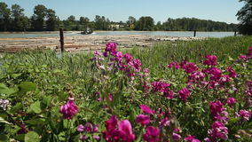 Fraser River Wildflowers and Tugboat stock footage
