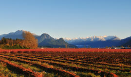 Fraser Valley Blueberry Farm In Winter Stock Images