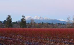 Fraser Valley Blueberry Field en Gouden Orenberg royalty-vrije stock afbeeldingen