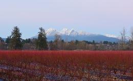 Fraser Valley Blueberry Field und goldener Ohr-Berg Lizenzfreie Stockbilder