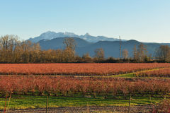 Fraser Valley Blueberry Field und goldener Ohr-Berg Lizenzfreies Stockbild