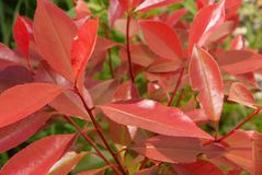 Fraseri do Photinia Foto de Stock