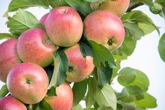 Frash czerwoni jabłka na jabłoni gałąź zdjęcia royalty free