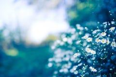Frash daisy blossoms Stock Image