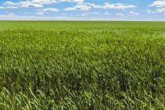 Frash fält av grön råg under blå och molnig himmel för sned boll Arkivbilder