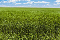 Frash field of green rye under wide blue and cloudy sky. Stock Images