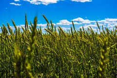 Frash gräsplanråg under bred blå himmel Arkivfoto