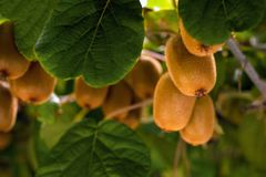 Frash kiwi Actinidia chinensis on a tree with branches and leaves. Healthy kiwi fruit grows on a tree on a farm stock images