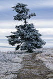 Frasier Fir Tree Grows Naturally Stock Images