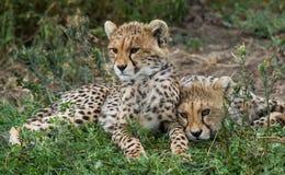 Fratelli dei cuccioli del ghepardo fotografie stock libere da diritti