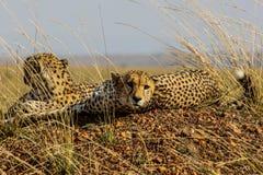Fratelli dei ghepardi Fotografia Stock