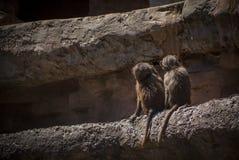 Fratelli del babbuino Fotografie Stock