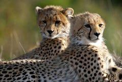 Fratelli del ghepardo Fotografia Stock Libera da Diritti