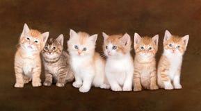 Fratelli germani del gattino Fotografia Stock Libera da Diritti