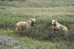 Fratelli germani dell'orso dell'orso grigio Immagine Stock Libera da Diritti