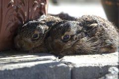 Fratelli germani delle lepri del Brown nel giardino Immagine Stock Libera da Diritti