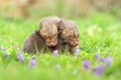 Fratelli germani di Fox nelle viole Fotografia Stock Libera da Diritti
