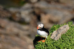 Fratercula Arctica. (Puffin) at Sumburgh Head Royalty Free Stock Images