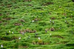 Fratercula arctica in faroe royalty free stock images