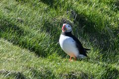 Fratercula arctica, Puffin of Iceland. Fratercula arctica; no doubt the puffin is one of the top photo models in bird photography! The colorful heavy beak and Royalty Free Stock Photography