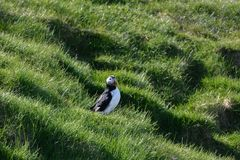 Fratercula arctica, Puffin of Iceland. Fratercula arctica; no doubt the puffin is one of the top photo models in bird photography! The colorful heavy beak and Royalty Free Stock Photo