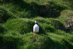 Fratercula arctica, Puffin of Iceland. Fratercula arctica; no doubt the puffin is one of the top photo models in bird photography! The colorful heavy beak and Royalty Free Stock Image