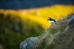 Fratercula arctica. Norway`s wildlife. Beautiful picture. From the life of birds. Free nature. Runde island in Norway.Sandinavian. Wildlife. North of Europe stock images