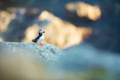 Fratercula arctica. Norway`s wildlife. Beautiful picture. From the life of birds. Free nature. Runde island in Norway.Sandinavian. Wildlife. North of Europe royalty free stock photo
