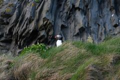 Fratercula arctica, Puffin of Iceland. Fratercula arctica; no doubt the puffin is one of the top photo models in bird photography! The colorful heavy beak and Royalty Free Stock Photos
