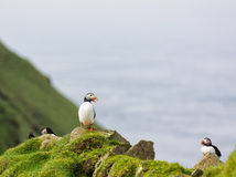 Fratercula arctica. Puffins. Cute Puffins on a cliff in Faroe islands stock images