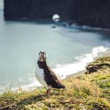 Fratercula arctica - sea birds from the order of Charadriiformes Stock Photography