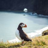 Fratercula arctica - sea birds from the order of Charadriiformes Royalty Free Stock Photos