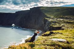 Fratercula arctica - sea birds from the order of Charadriiformes Royalty Free Stock Photography