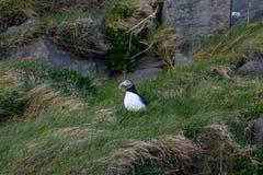 Fraterculaarctica, Papegaaiduiker van IJsland Stock Afbeeldingen