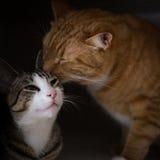 A fraternidade de dois gatos Fotos de Stock Royalty Free