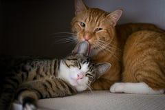 A fraternidade de dois gatos Fotografia de Stock Royalty Free