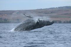 Frattura della balena di Humpback Immagini Stock