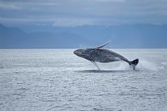 Frattura della balena di Humpback Fotografie Stock