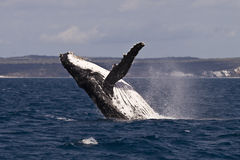 Frattura della balena di Humpback Immagini Stock Libere da Diritti