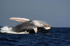 Frattura della balena di Humpback Fotografia Stock