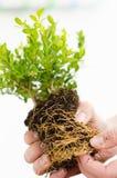 Frau übergibt das Halten der Blume mit grünen Blättern, Wurzeln und Lehm Lizenzfreies Stockfoto