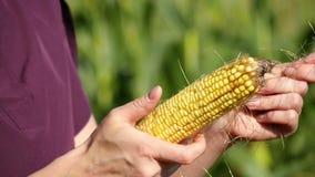 Frau übergibt Nahaufnahme Ein Landwirt hält einen Maiskolben und überprüft seine Qualität Ernten, Landwirtschaft stock video