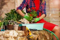 Frau übergibt Potting rote Pelargonie in einem Behälter stockbilder