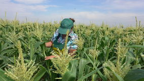 Frau überprüft Maispflanzen stock footage