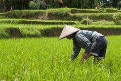 Frau auf dem Reisgebiet Lizenzfreie Stockfotos